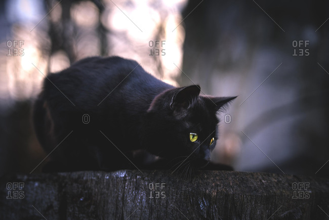 Black cat (Felis silvestris catus) lurks for stump, Switzerland, Europe