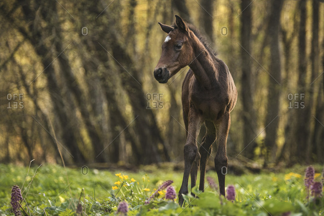 Brown Foal (Equus) stands in the forest on a flowery meadow, Switzerland, Europe