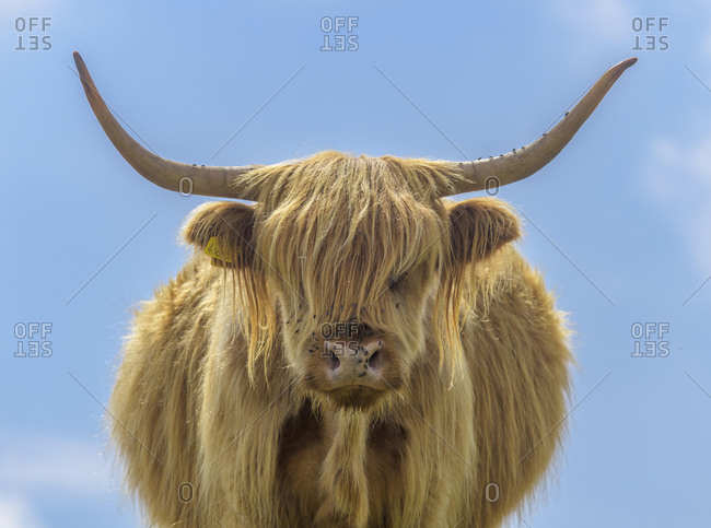 Scottish Highland Cattle, Teignbridge, England, Great Britain