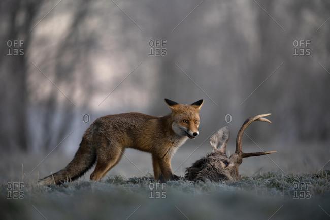 Red fox (Vulpes vulpes) eats on dead deer in winter, Eifel, Rhineland-Palatinate, Germany, Europe