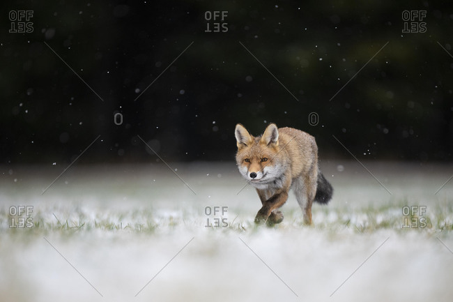 Red fox (Vulpes vulpes) runs during snowfall, Eifel, Rhineland-Palatinate, Germany, Europe