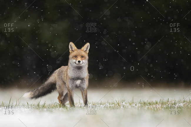 Red fox (Vulpes vulpes) during snowfall, Eifel, Rhineland-Palatinate, Germany, Europe