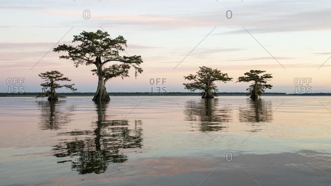 Bald cypresses (Taxodium distichum) in water, dusk, Atchafalaya Basin, Louisiana, USA, North America