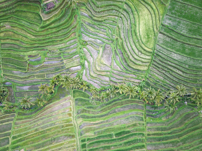 Aerial view, palm trees between rice terraces in the highlands, Jatiluwih rice terraces, Bali, Indonesia, Asia