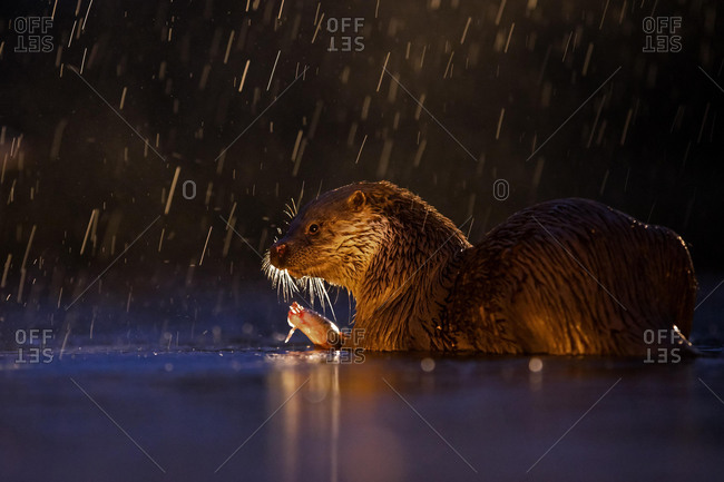 European otter (Lutra lutra) in rain with captured fish in backlight, Kiskuns·gi National Park, Hungary, Europe