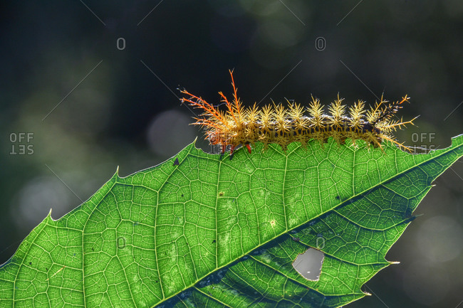Colorful caterpillar with spines on one leaf, Iguazu Falls, Puerto Iguazu, Argentina, South America