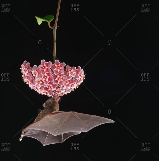Pallas's long-tongued bat (Glossophaga soricina), approaching a flower at night, eats Necktar, Costa Rica, Central America