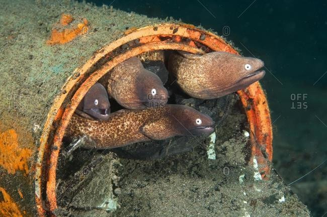 White-eyed Moray Eels (Siderea thyrsoidea) using an old tin can as habitation, Indonesia, Southeast Asia, Asia
