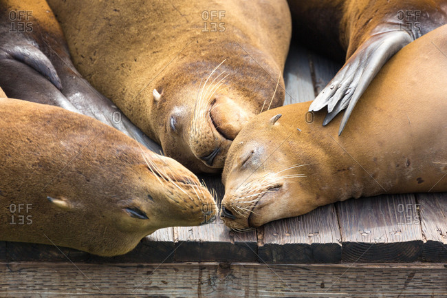 California sea lions (Zalophus californianus) sleeping on wooden jetty, Pier 39, San Francisco, California, USA, North America