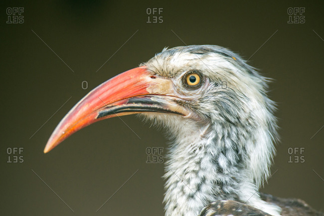 Red-billed hornbill (Tockus erythrorhynchus), animal portrait, Manyeleti Nature Reserve, South Africa, Africa