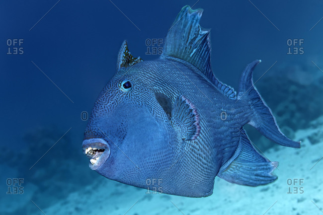 Blue triggerfish (Pseudobalistes fuscus), Red Sea, Egypt, Africa
