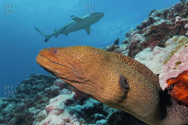 Giant moray (Gymnothorax javanicus) peeps out of hole in coral reef, behind Blacktip reef shark (Carcharhinus melanopterus), Pacific Ocean, Moorea, Windward Islands, French Polynesia, Oceania