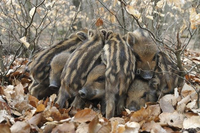 Wild Boars (Sus scrofa), piglets warming each other, captive, North Rhine-Westphalia, Germany, Europe