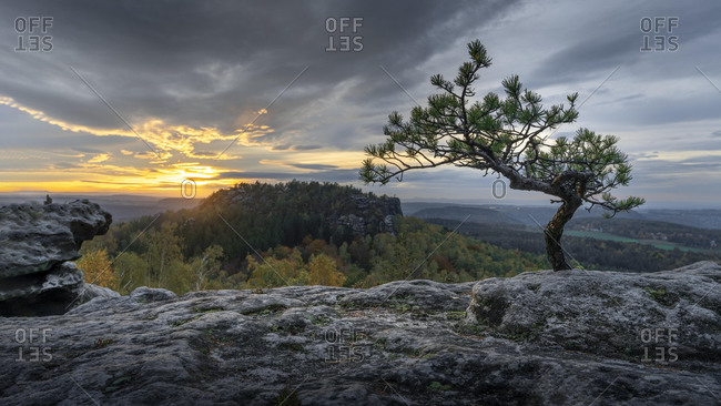 Small pine at the Papststein, Elbe Sandstone Mountains, Saxon Switzerland, Germany, Europe