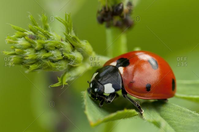 Seven-spott ladybird (Coccinella septempunctata), Tuscany, Italy, Europe