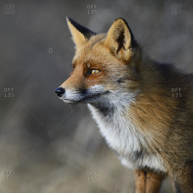 Red fox (Vulpes vulpes), alert, animal portrait, Waterleidingduinen, North Holland, Netherlands
