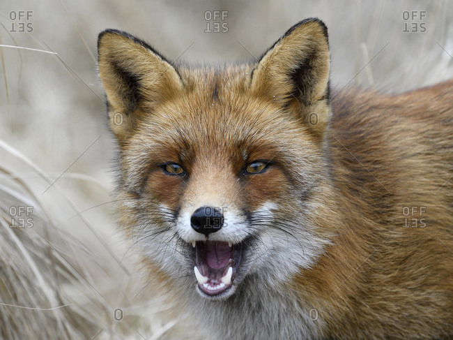 Fox Head Stock Photos Offset