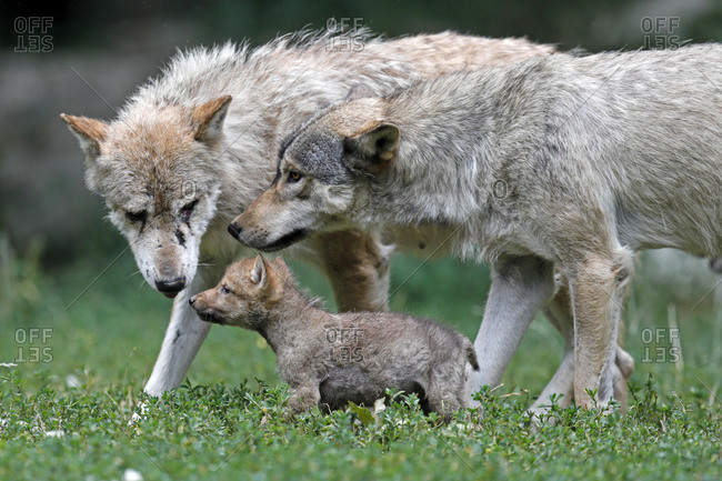 Algonquin wolves (Canis lupus lycaon) with puppy, captive, Germany, Europe