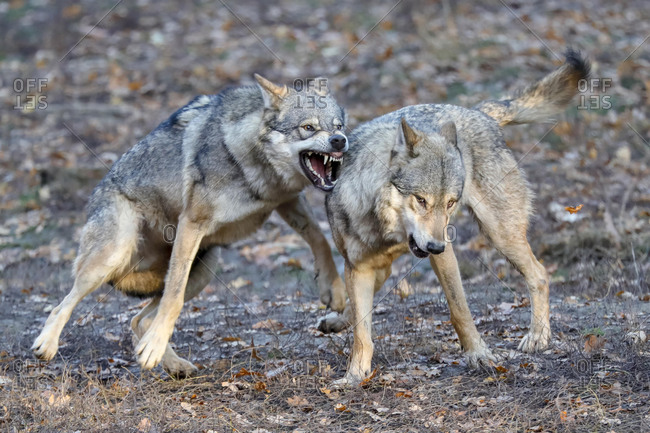 European Gray wolves (canis lupus) fight, Germany, Europe