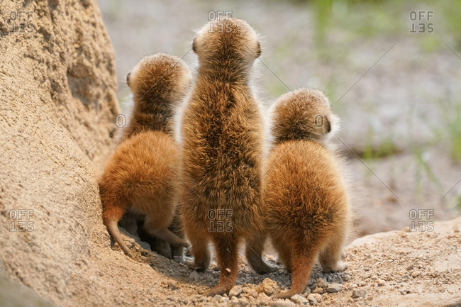 Meerkats (Suricata suricatta), young animals watching out, from behind, Germany, Europe
