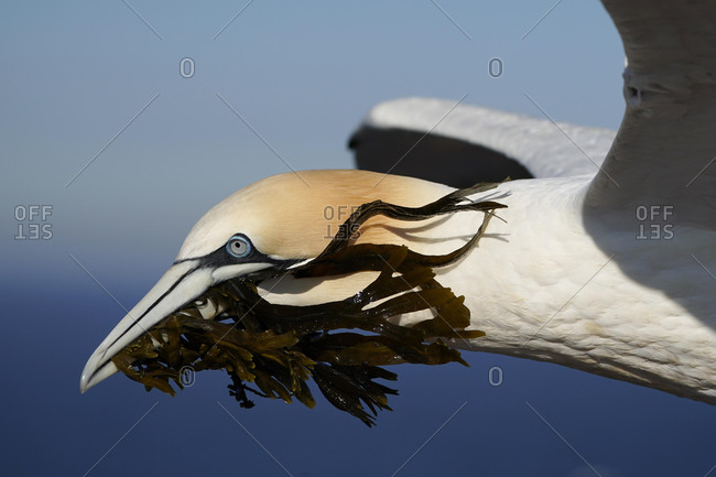 Northern gannet (Sula bassana) flying with nesting material, animal portrait, Helgoland, Schleswig-Holstein, Germany, Europe