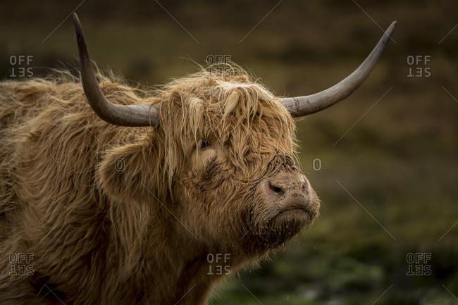 Scottish Highland Cattle (Bos taurus), animal portrait, Scotland, United Kingdom, Europe
