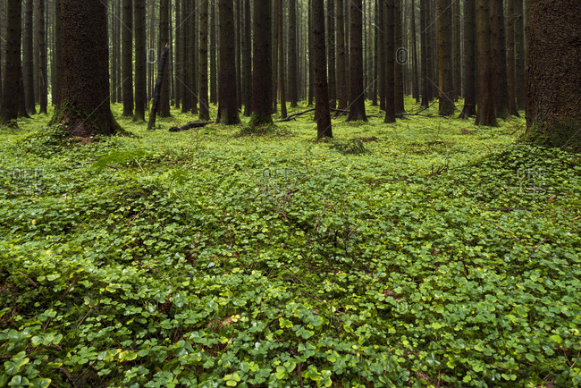 Clover leaves (Trifolium) on forest floor in Spruces forest (Picea), Bavaria, Germany, Europe