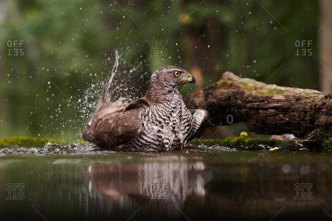 Northern goshawk (Accipiter gentilis), adult female bathes in waterhole, splashes with drops of water, Pusztaszer, Hungary, Europe
