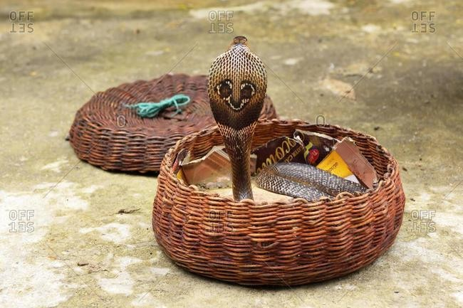 Indian cobra (Naja naja), erected in basket, South Province, Sri Lanka, Asia