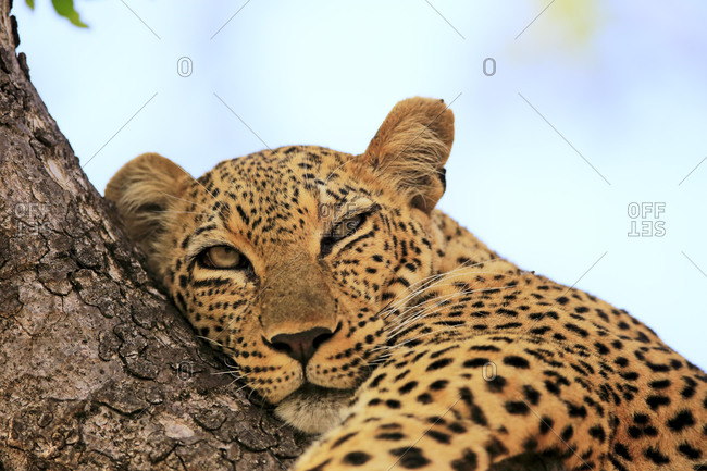 Leopard (Panthera pardus), adult, on tree, resting, animal portrait, Sabi Sand Game Reserve, Kruger National Park, South Africa, Africa