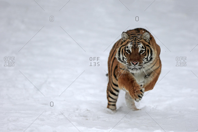 Siberian tiger (Panthera tigris altaica), adult, captive, in winter, in snow, stalking, Montana, North America, USA, North America