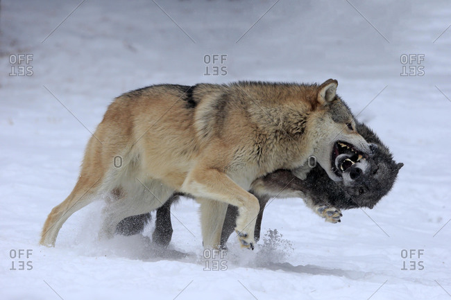 Algonquin wolf (Canis lupus lycaon), adult, in winter, in snow, fighting, two wolves, captive, Montana, North America, USA, North America