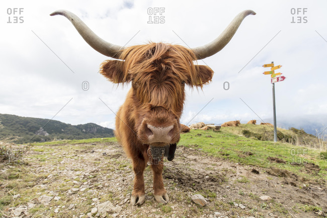 Scottish Highland Cattle (Bos taurus), hiking trail near Bogno, Ticino, Switzerland, Europe