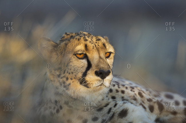 Cheetah (Acinonyx jubatus), male, animal portrait, captive, Namibia, Africa
