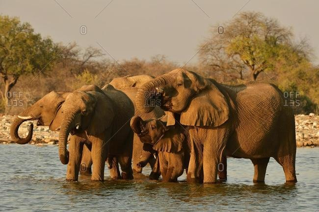 Herd of elephants (Loxodonta africana) drinking at a waterhole in the evening sun, Etosha National Park, Namibia, Africa