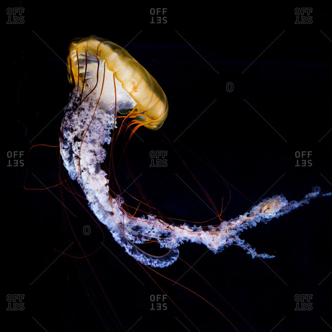 Compass jellyfish (Chrysaora hysoscella), black background, captive