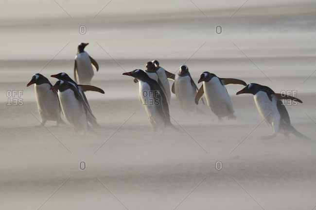 Gentoo penguins (Pygoscelis papua) in Sandstorm on Saunders Island, South Sandwich Islands, Falkland Islands, Malwines, United Kingdom, South America
