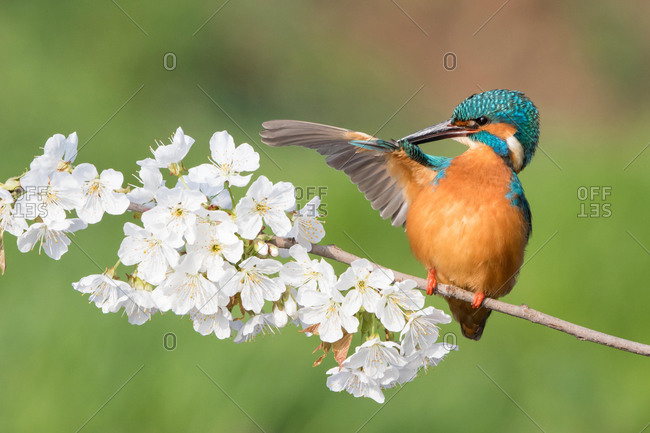 Common kingfisher (Alcedo atthis) with extended wing, plumage care on a flowering branch, wild cherry (Prunus avium), Hesse, Germany, Europe