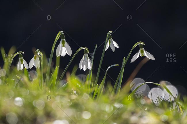 Snowdrop (Galanthus nivalis), Hesse, Germany, Europe