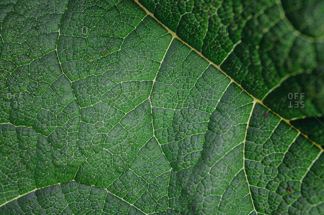 Close up detail of a green leaf