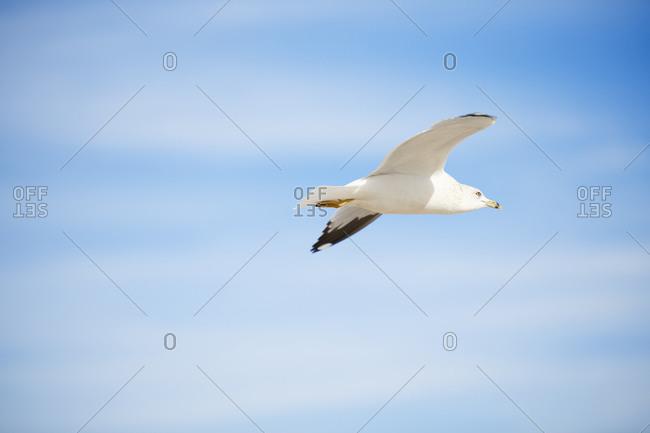 Seagull flight on blue sky