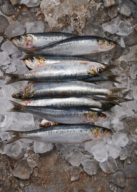 Fresh sardines on an ice covered metal surface