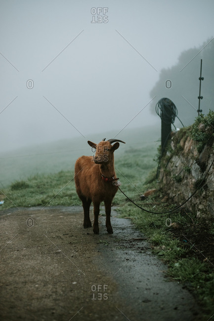 Goat on leash in foggy weather at countryside