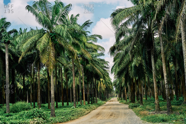 Picturesque scenery of rural road through palm forest leading to sea in Costa Rica