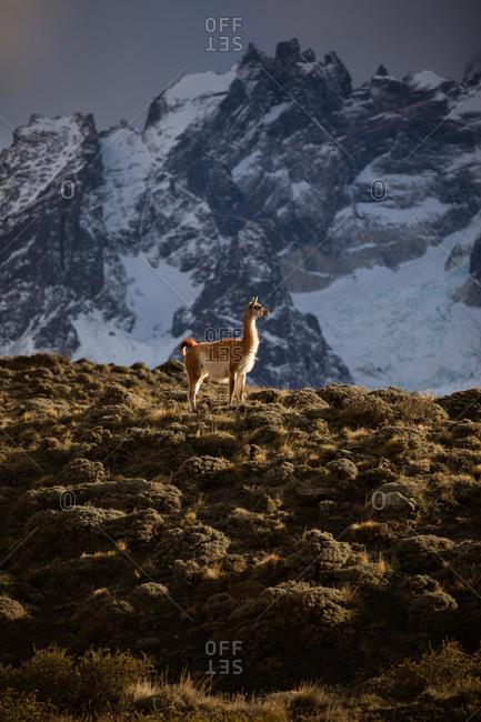 Tranquil lama in sunbeams against snowy mountain ridge