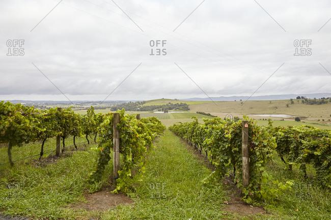 Vineyard in the Yarra Valley in Victoria, Australia