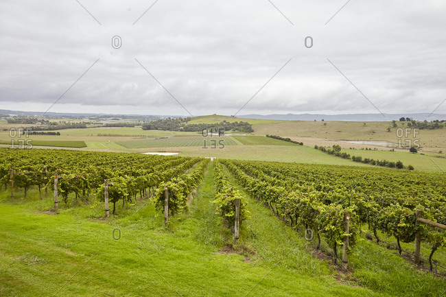 Countryside in the Yarra Valley in Victoria, Australia with a green vineyard