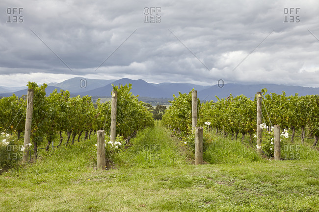Rows of grapevines in a vineyard in the Yarra Valley in Victoria, Australia
