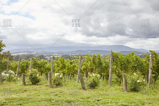 Vineyard under cloudy skies in the Yarra Valley in Victoria, Australia