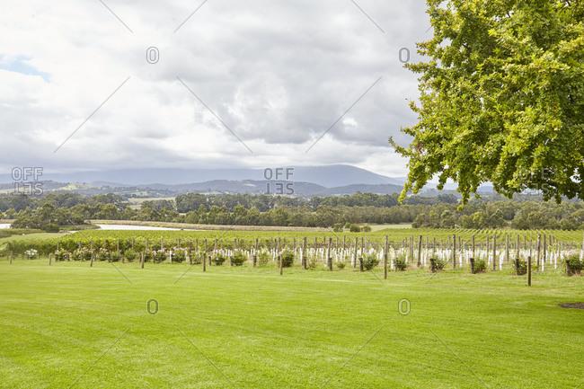 Beautiful view of vineyard under cloudy skies in the Yarra Valley in Victoria, Australia
